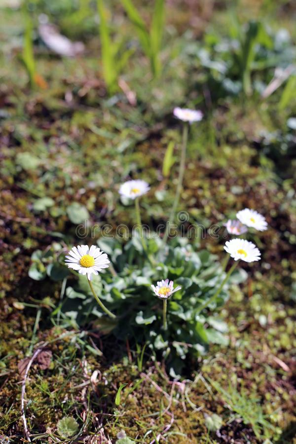 Small White Daisy-Like Flowers Photographed in a Meadow Located in Madeira. Wild white daisy-like flowers photographed in a meadow located in Madeira. The photo stock photo