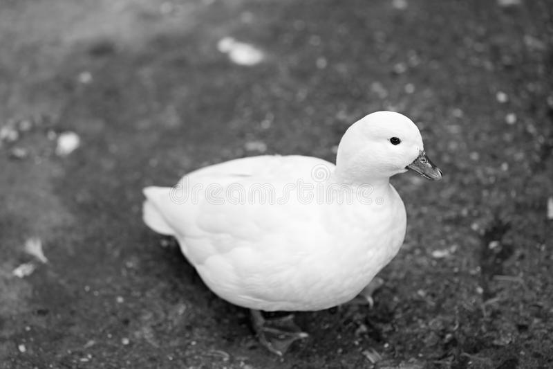 Small white duck royalty free stock images