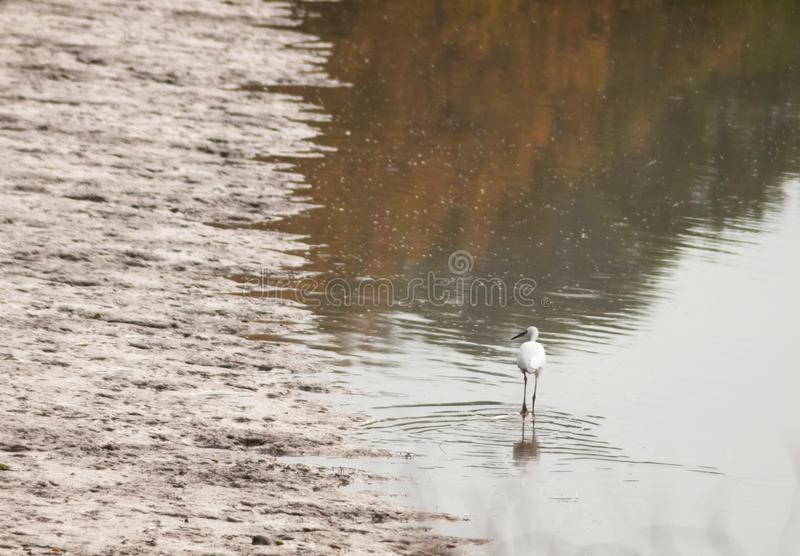 Small white egret from behind in shallow water mud bank. Essex; england; uk stock photos
