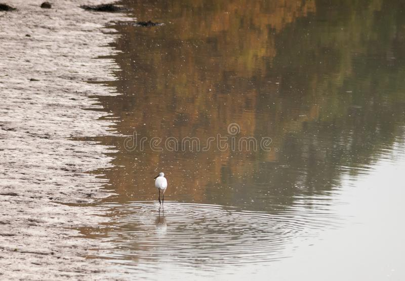 Small white egret from behind in shallow water mud bank. Essex; england; uk stock photography