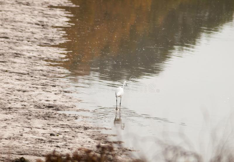 Small white egret from behind in shallow water mud bank. Essex; england; uk royalty free stock photo
