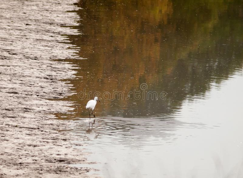 Small white egret from behind in shallow water mud bank. Essex; england; uk royalty free stock photography