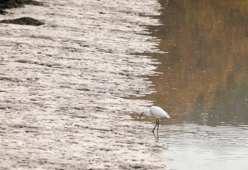 Small white egret from side in shallow water mud bank. Essex; england; uk royalty free stock image
