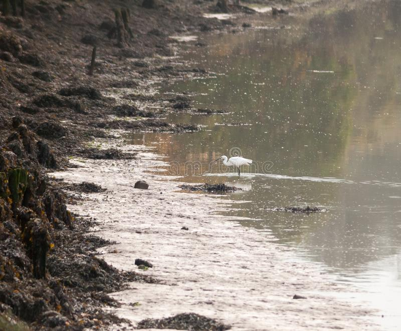 Small white egret from side in shallow water mud bank. Essex; england; uk royalty free stock photos