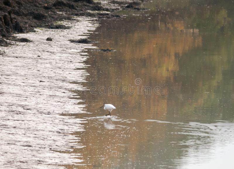 Small white egret from side in shallow water mud bank. Essex; england; uk stock images