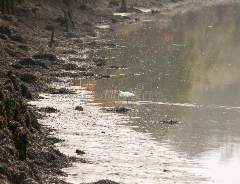 Small white egret from side in shallow water mud bank. Essex; england; uk royalty free stock photo