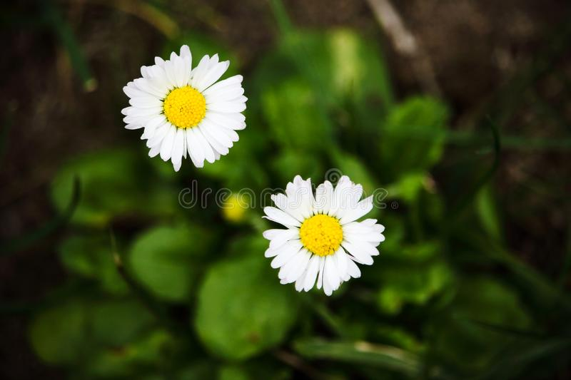 Small white field flowers with yellow center stock image