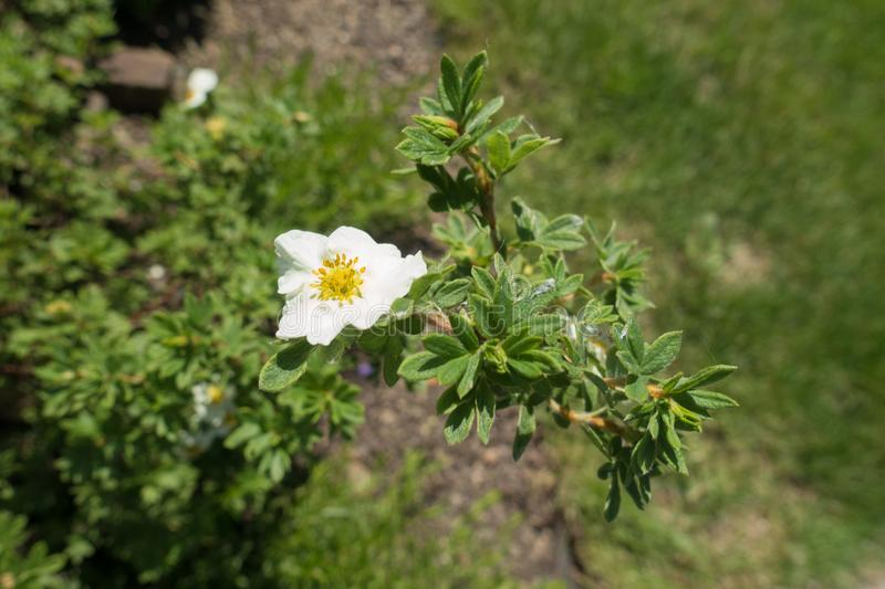 Small white five-petaled flower of shrubby cinquefoil. Small white five petaled flower of shrubby cinquefoil stock image