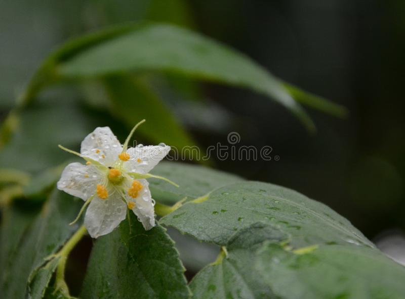 White flower in the rain royalty free stock photo