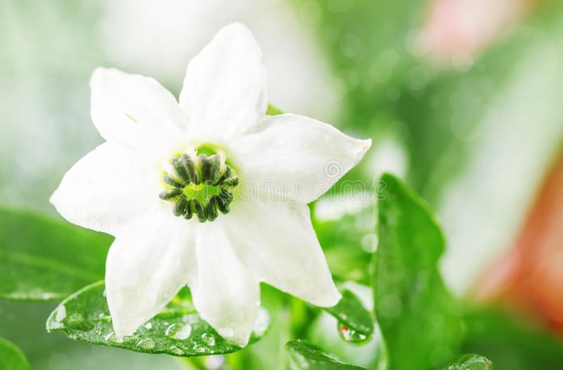 Small white flower with water drops in the rain, macro shot, space for text stock photo