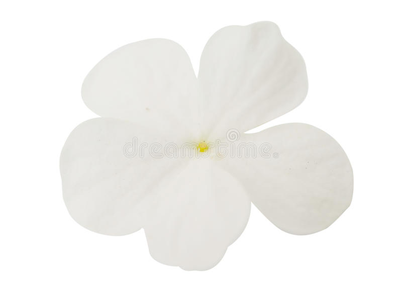 Small white flowers. On a white background royalty free stock photo