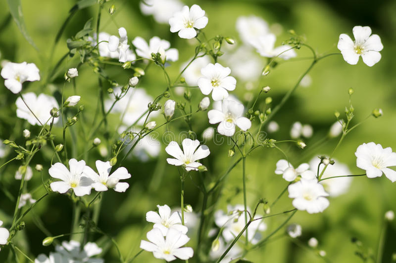 small white flowers bloom on a green meadow royalty free stock photo