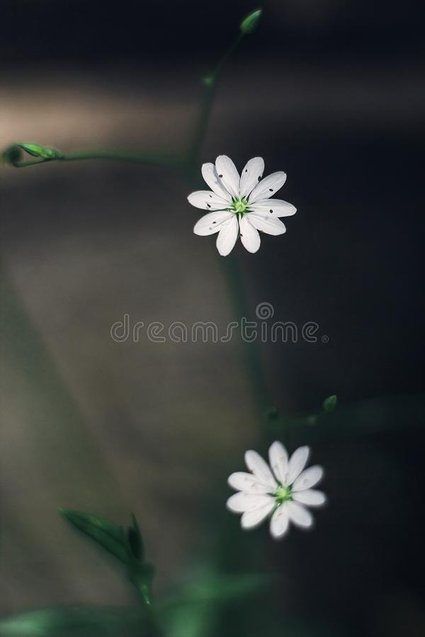 Small white flowers blooming stellaria holostea, chickweed, stitchwort in the forest and meadow on a gray background. Close-up stock photography