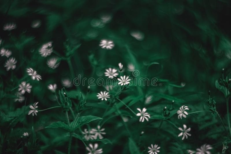 Small white flowers blooming stellaria holostea, chickweed, stitchwort in the forest and meadow on a green background. Flower stock photo