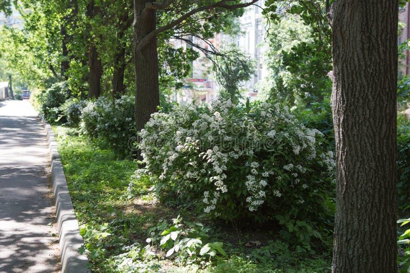 Small white flowers on a bush in spring park. Deutzia lemoinei plant. royalty free stock images