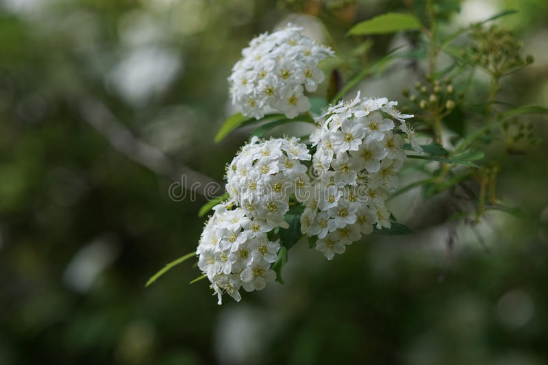 Small white flowers in clusters stock image image of vegetation download small white flowers in clusters stock image image of vegetation plant 91016879 mightylinksfo