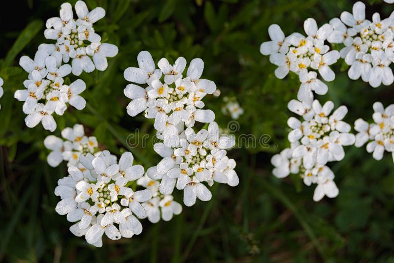 Small white flowers evergreen flower circling iberis sempervirens, belongs to the family Brassicaceae.  stock image