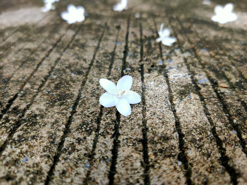 Small white flowers fall on the floor. Nature, natural, garden, background, desktop stock photo