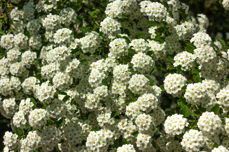 Small white flowers. In a garden stock image