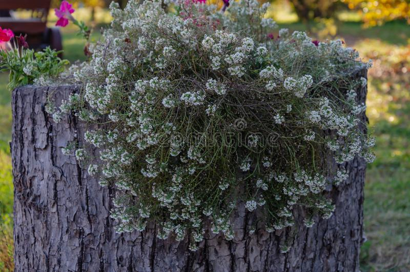 Small white flowers with green leaves growing from a tree stump. Not an ordinary flower bed royalty free stock images