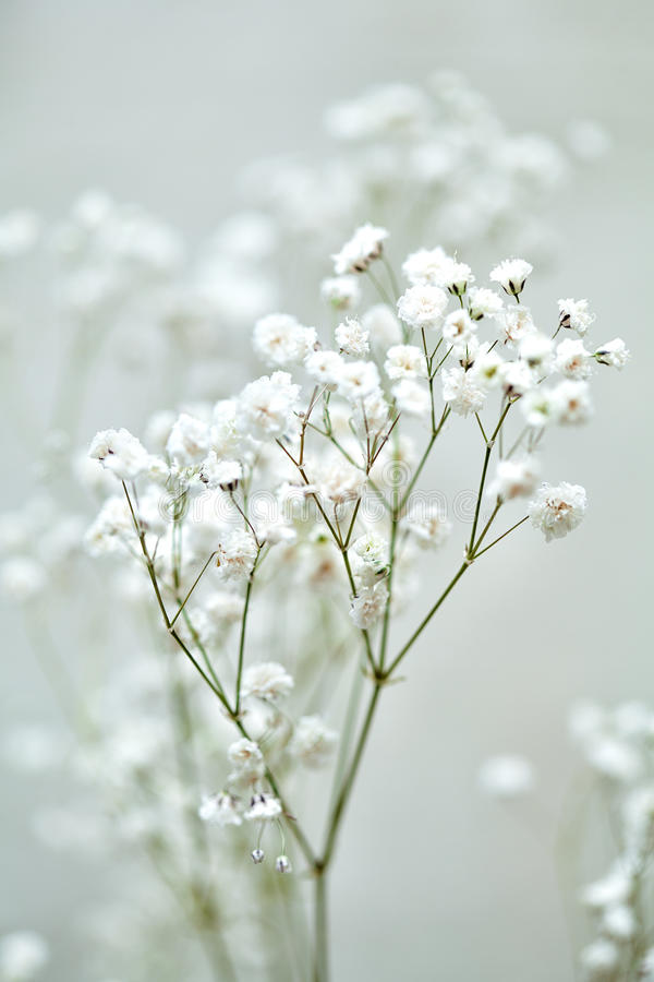 The small white flowers of gypsophila stock photo image of flower download the small white flowers of gypsophila stock photo image of flower congratulation mightylinksfo