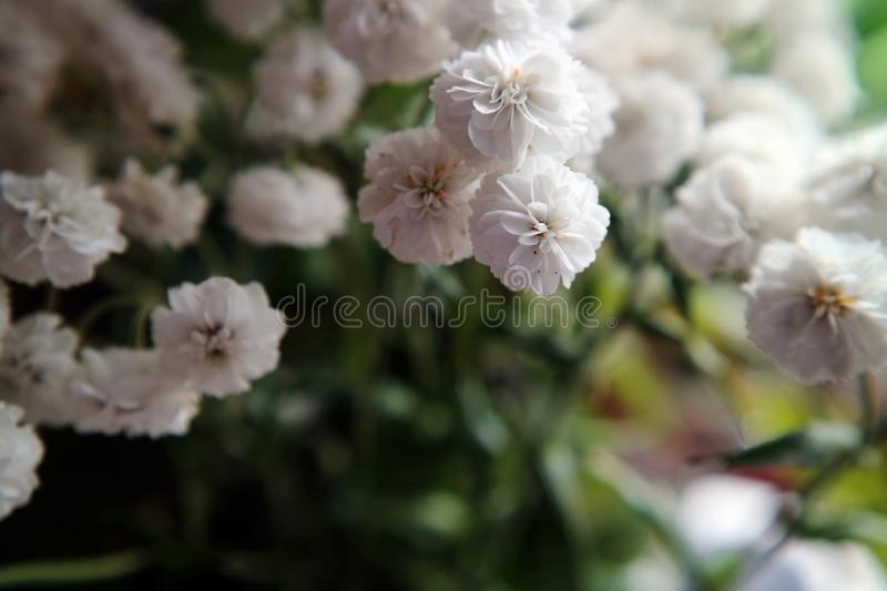 Small white flowers macro photo as the background stock images