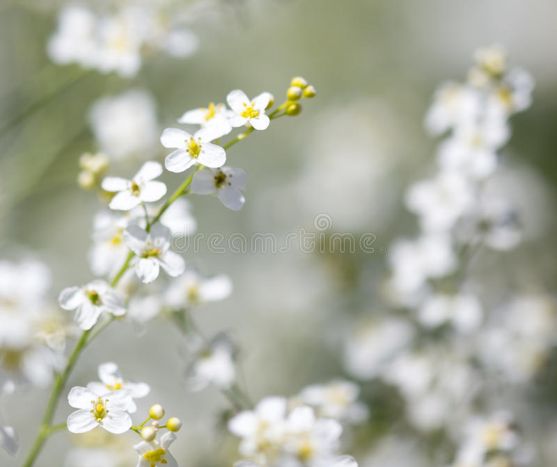 Small white flowers on the nature royalty free stock photos