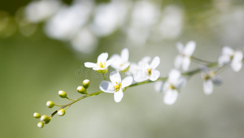 Small white flowers on the nature stock image