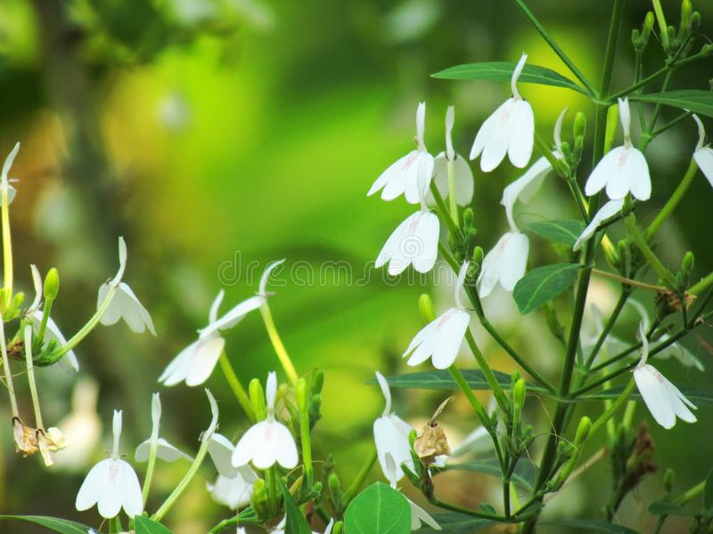 Small white flowers of Rhinacanthus nasutus, White crane flower or snake jasmine. Single flowering and hanging on tree with green royalty free stock photo