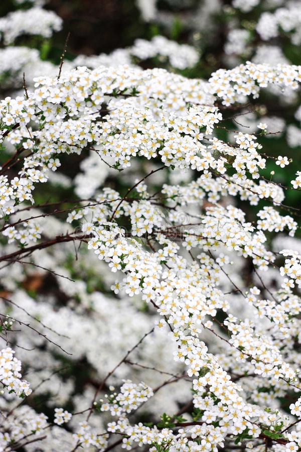 Small white flowers spirea bush royalty free stock photography