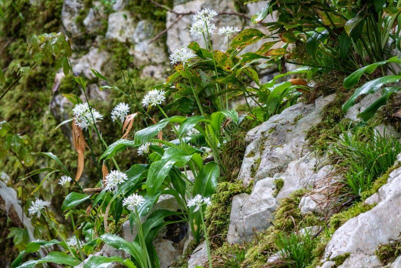 Small white flowers on a stone cliff. Allium ursinum, known as wild garlic, ramsons, buckrams, broad-leaved garlic, wood garlic, royalty free stock image