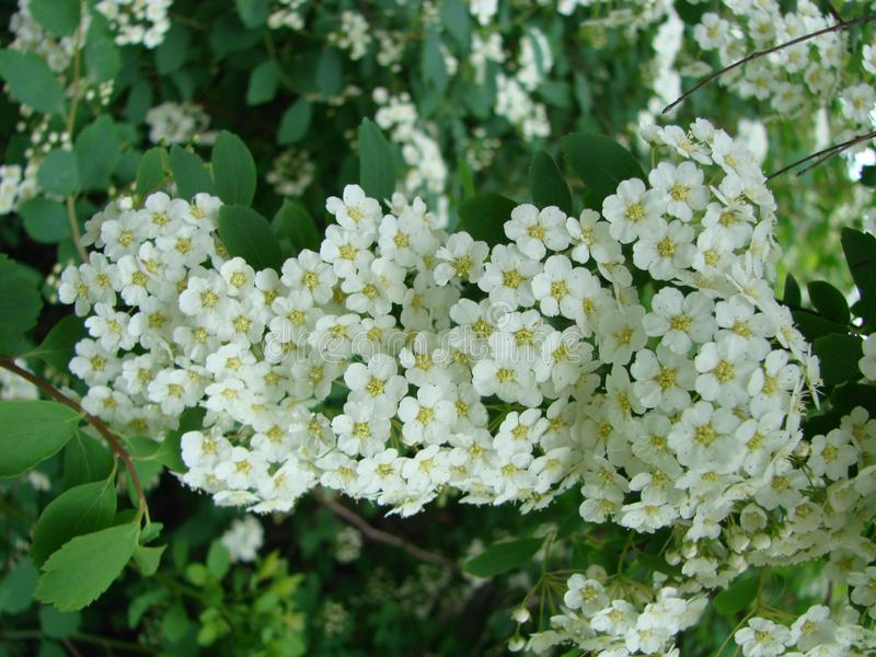 Small, white flowers in sumptuous clusters along leafy Spirea shrub branches royalty free stock image