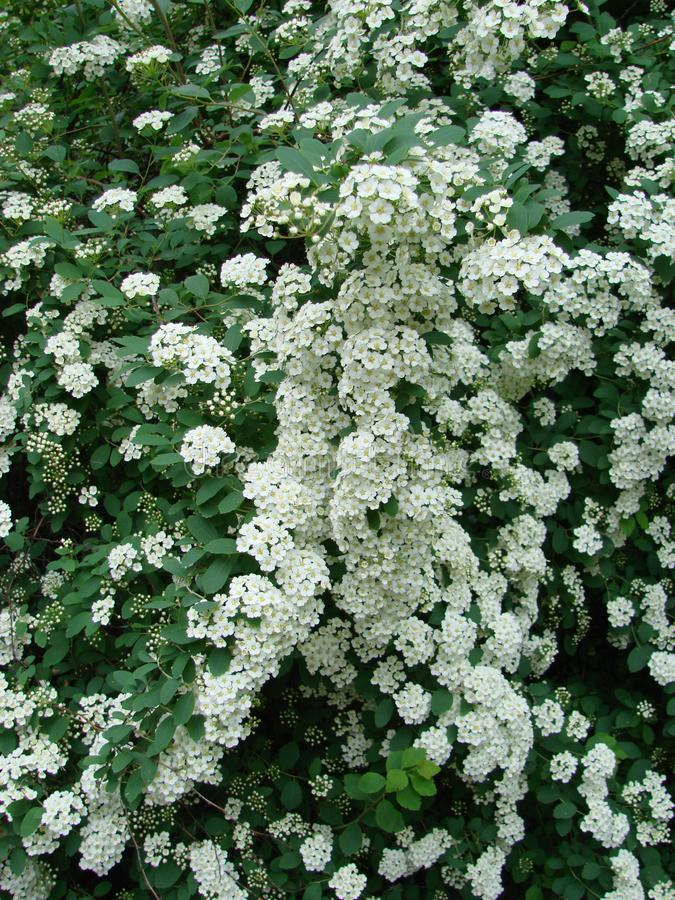 Small, white flowers in sumptuous clusters along leafy Spirea shrub branches stock photos