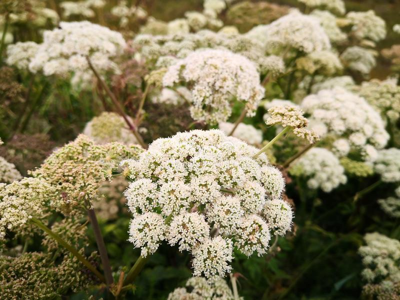 Small white flowers on a thick stem. Wild flowers `Angelica sylvestris` or wild angelica in the wild. Large plants in the wild. Norwegian flowers. Summer sun on stock photos
