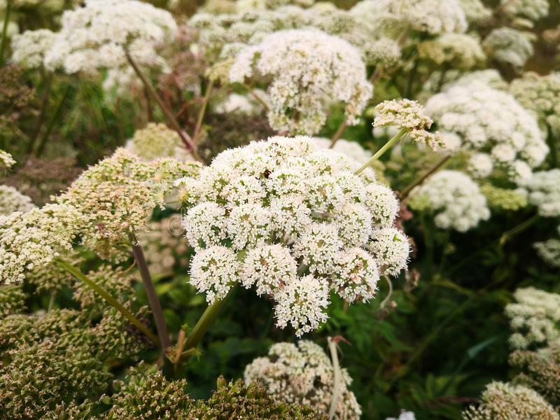 Small white flowers on a thick stem. Wild flowers `Angelica sylvestris` or wild angelica in the wild. Large plants in the wild. Norwegian flowers. Summer sun on stock images