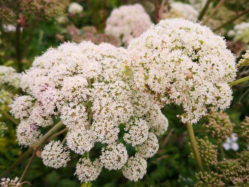 Small white flowers on a thick stem. Wild flowers `Angelica sylvestris` or wild angelica in the wild. Large plants in the wild. Norwegian flowers. Summer sun on royalty free stock photos