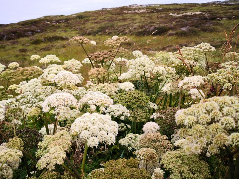 Small white flowers on a thick stem. Wild flowers `Angelica sylvestris` or wild angelica in the wild. Large plants in the wild. Norwegian flowers. Summer sun on stock photography