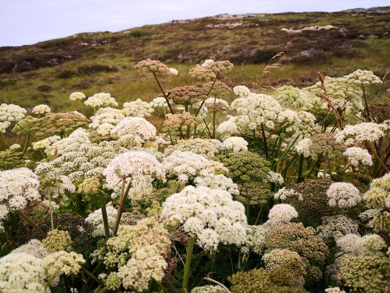 Small white flowers on a thick stem. Wild flowers `Angelica sylvestris` or wild angelica in the wild. Large plants in the wild. Norwegian flowers. Summer sun on stock image