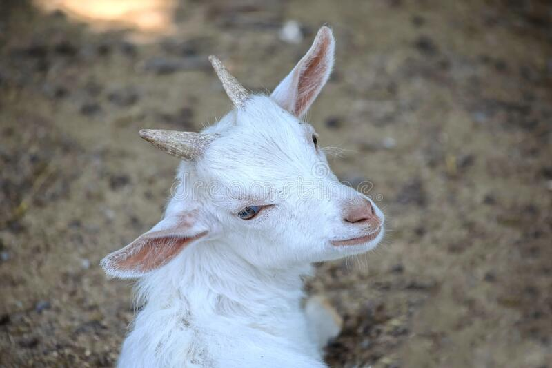 Small White Goat Baby Capra Hircus Looking Up. Portrait royalty free stock photos