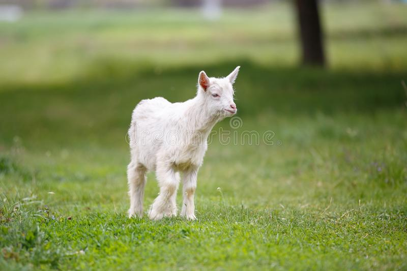 Small white goat kid grazing on green meadow stock photography