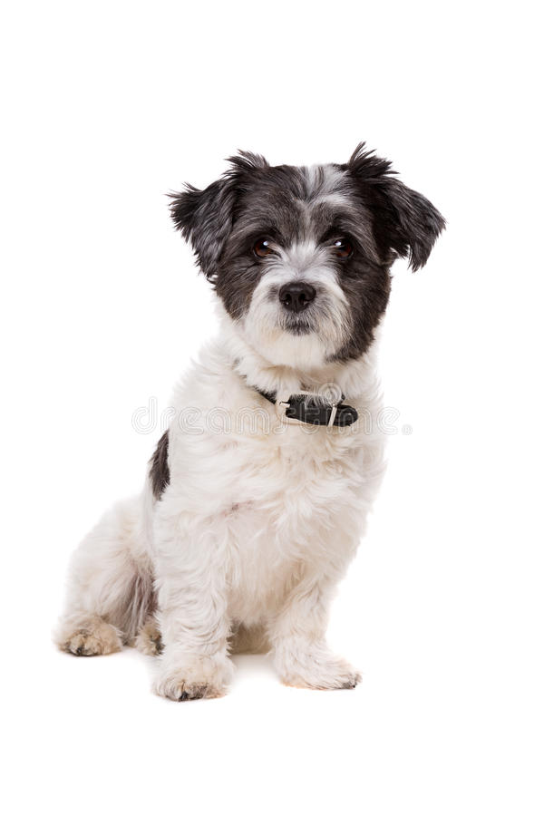 Small white and grey haired dog royalty free stock image
