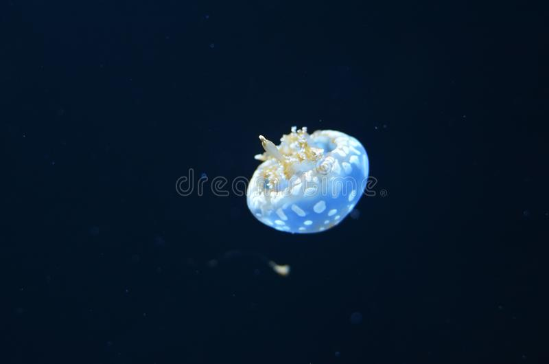 A small white jellyfish with tentacles and a hat. Floats in dark water royalty free stock photo