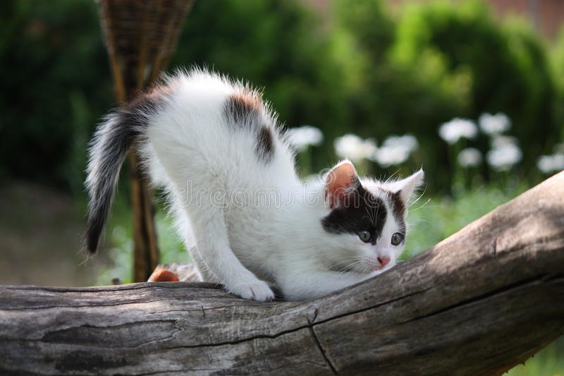 Small white kitten scratching tree branch stock images