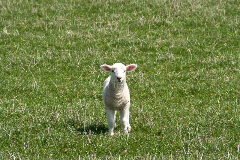 Download Small White Lamb Runing Towards The Camera Stock Images - Image: 30869794