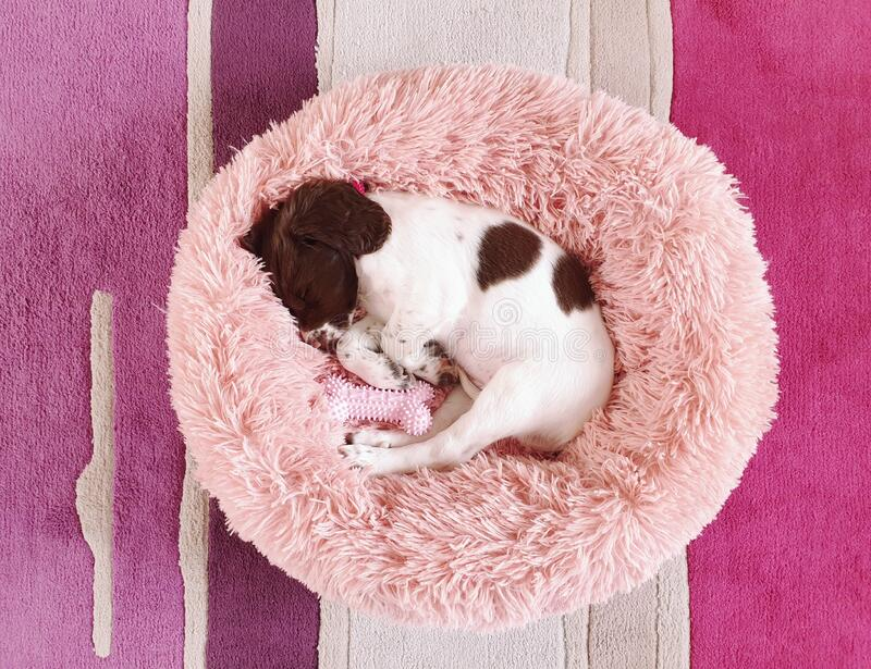 Small white and liver brown 8 week old pup puppy dog in round comfy comfortable pink bed on colorful flooring mat rug royalty free stock images