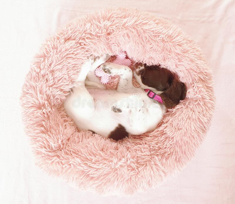 Small white and liver brown 8 week old pup puppy dog in round comfy comfortable pink bed on colorful flooring mat rug stock image