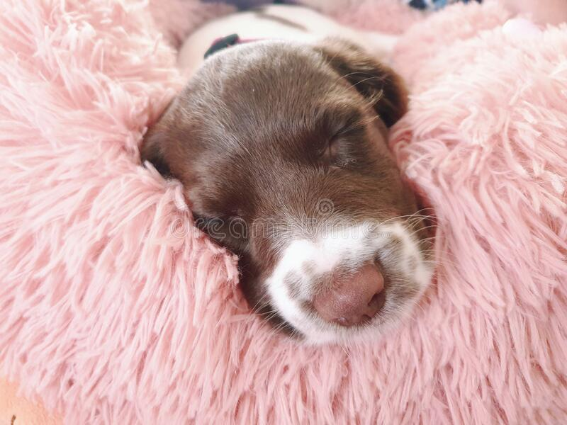 Small white and liver brown 8 week old pup puppy dog in round comfy comfortable pink bed on colorful flooring mat rug royalty free stock photo
