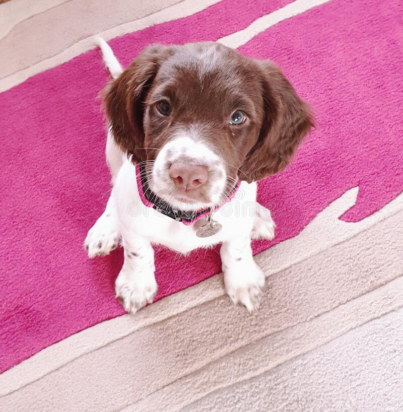 Small white and liver brown 8 week old pup puppy looking up sitting on colorful rug royalty free stock photography
