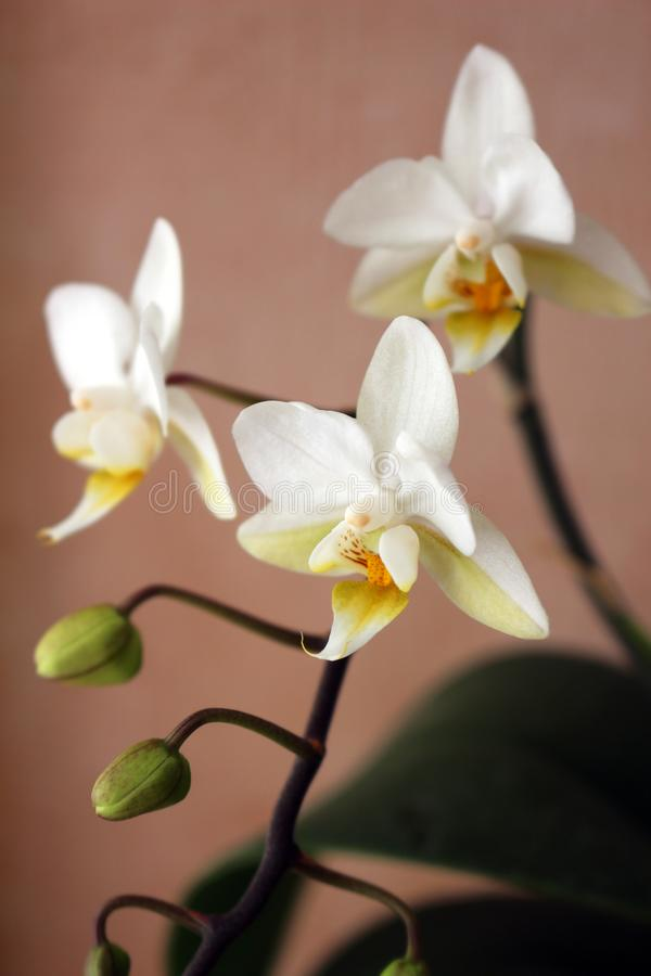 Small White Orchid Flower. Close up of a Small White Orchid Flower royalty free stock images