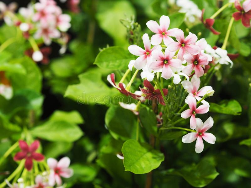 Small white and pink creeper flowers with green leaves stock image download small white and pink creeper flowers with green leaves stock image image of blossom mightylinksfo